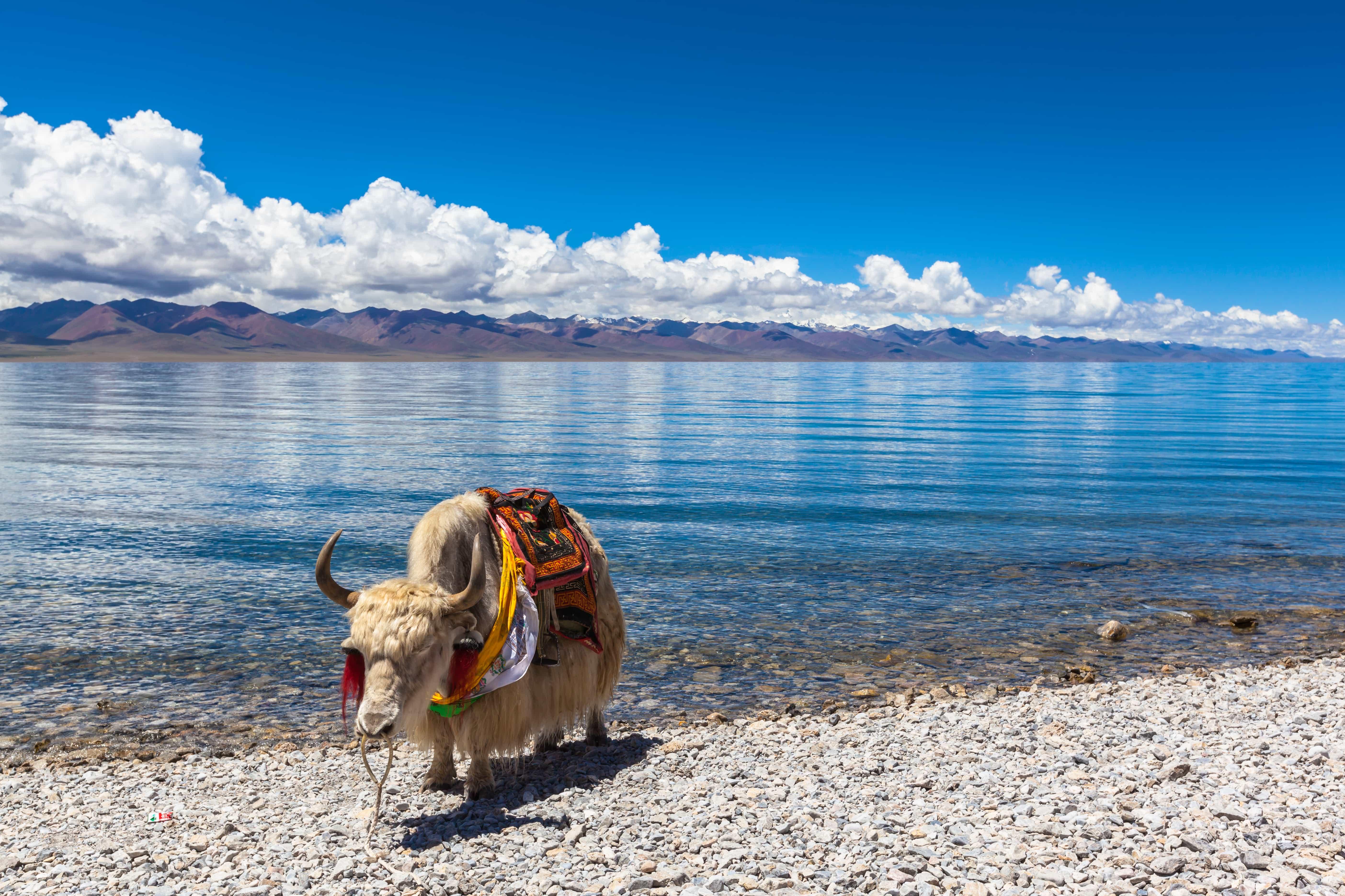 White yak at Namtso lake Tibet