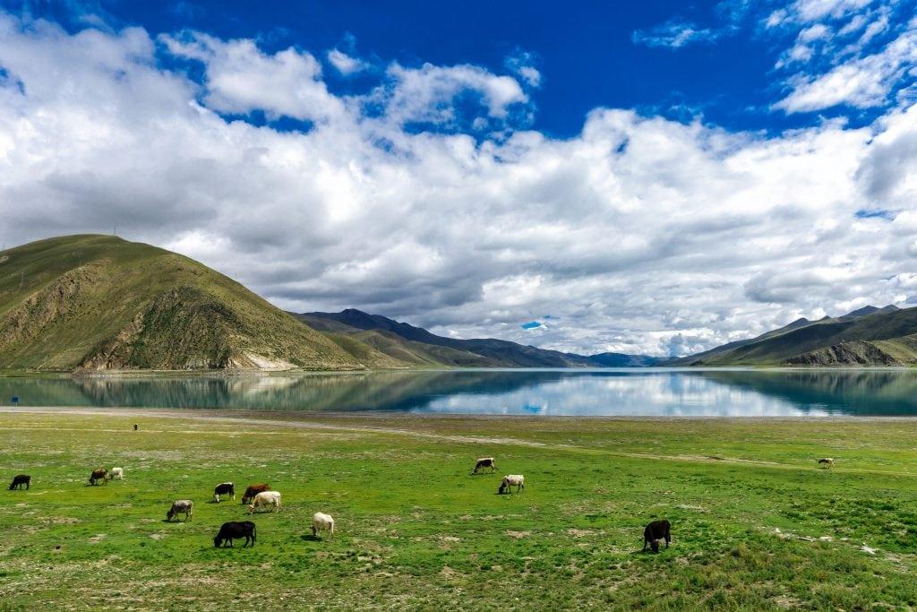 Herd of cows near Yamdrok lake in Tibet