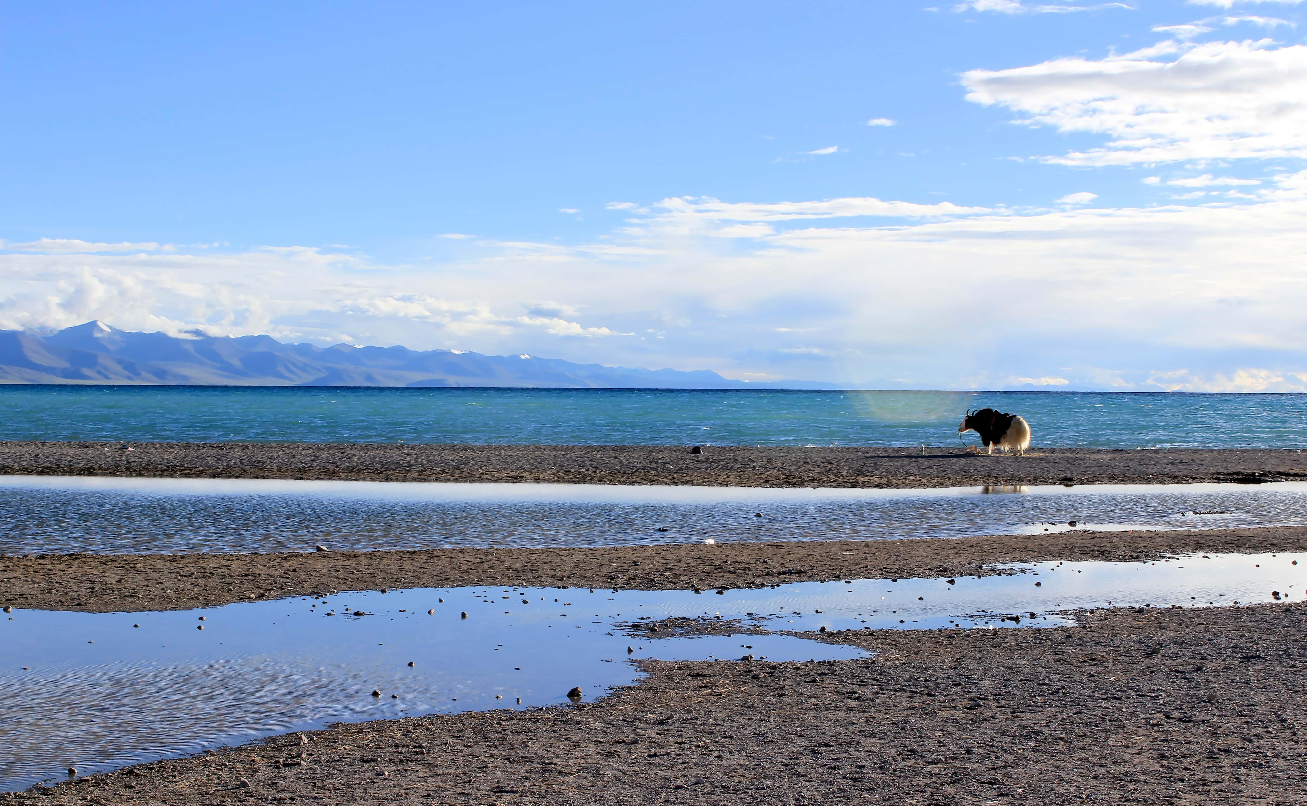 White yak at the Namtso lake in Tibet