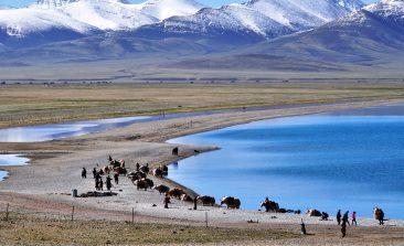 Yaks near the sacred Namtso lake in Tibet