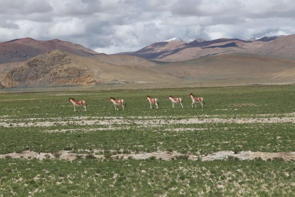 Wild donkeys running in the grasslands of Tibet