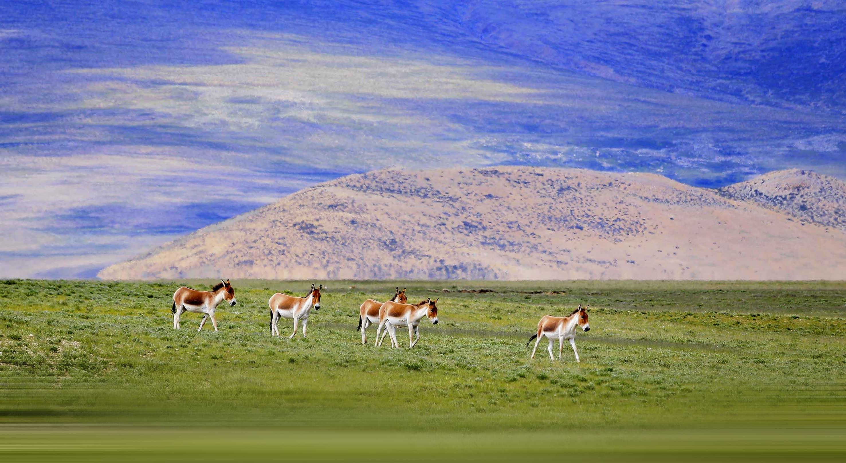 Grazing donkeys in Tibet
