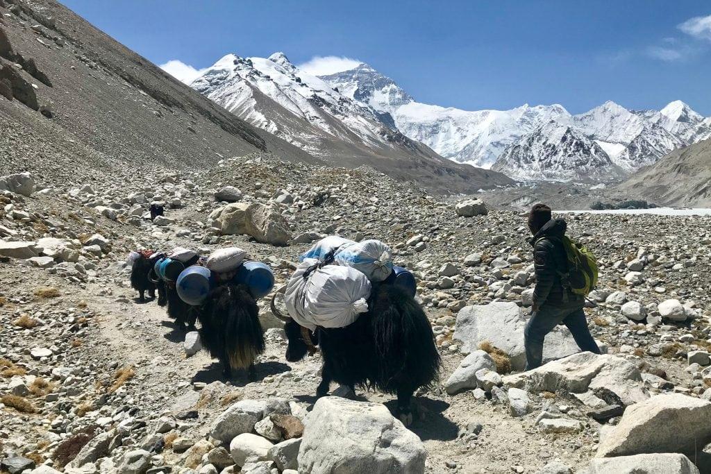 Yaks on trek to Everest Advanced Base Camp in Tibet