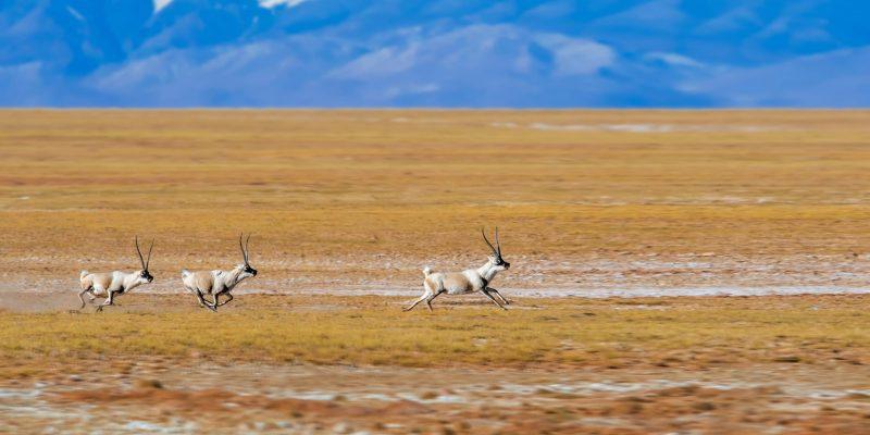 Tibetan antelopes running on the grasslands