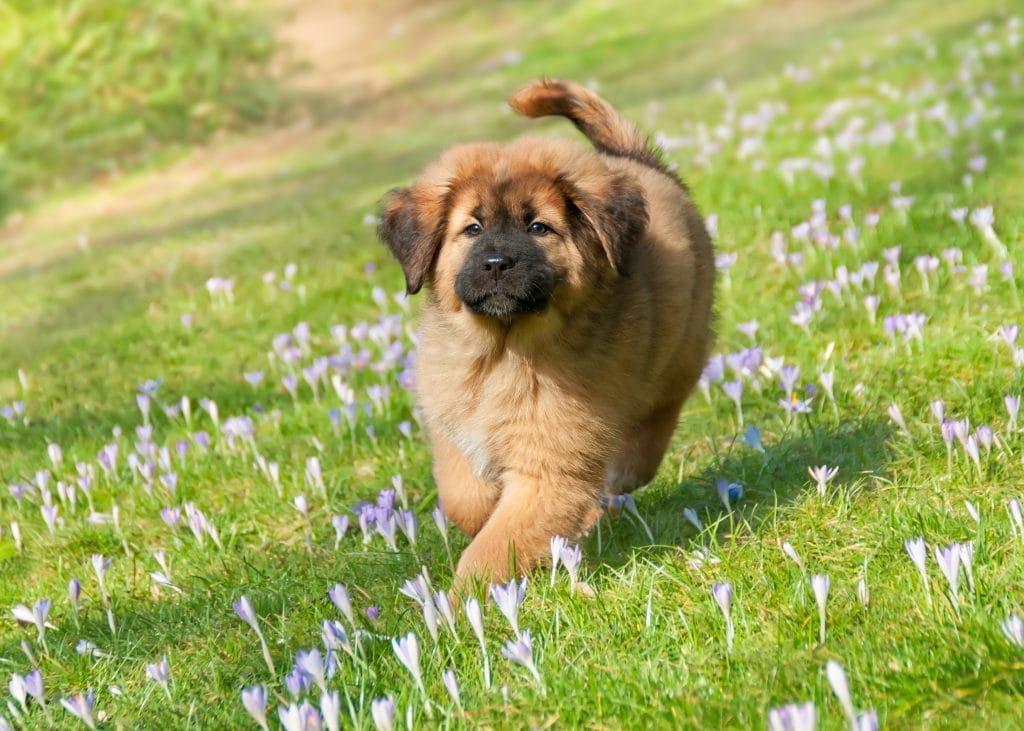 Tibetan mastiff puppy running across field in spring in Tibet