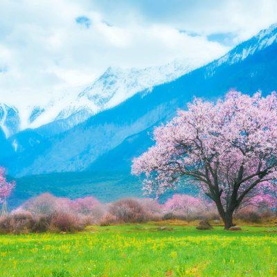 Peach blossom in Linzhi