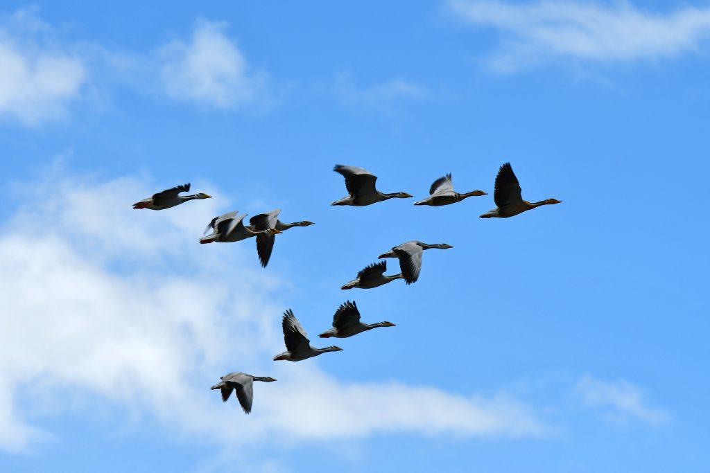 Wedge of grey geese in the sky above lake Manasarovar