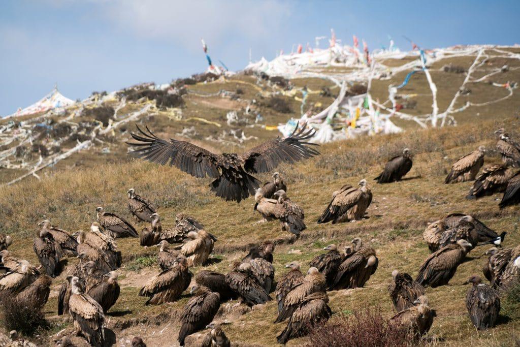 Himalayan Vultures gathering for Tibetan Sky Burial ritual