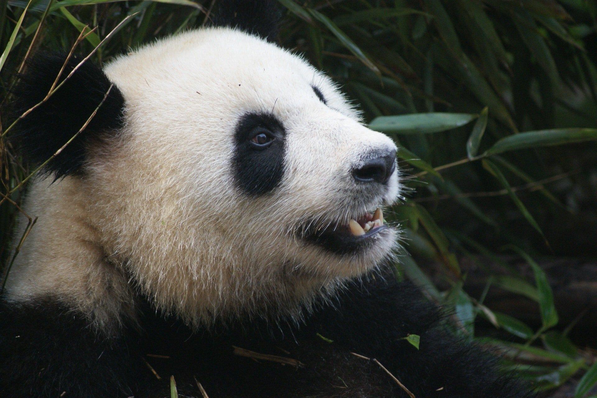 Giant Panda in a breeding center, Chengdu,China