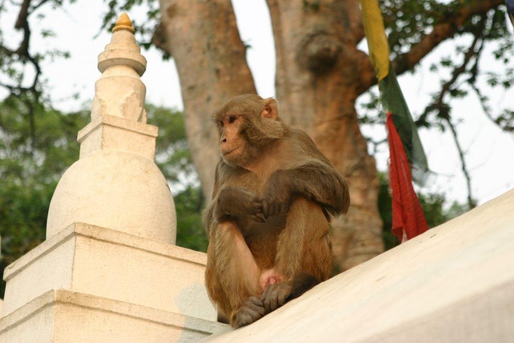 Monkey in Swayambhunath Temple in Nepal